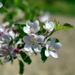 Apple tree blossom flower - Stock Photo