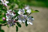Apple tree blossom flower — Stock Photo
