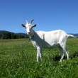White Goat — Stock Photo #11467809