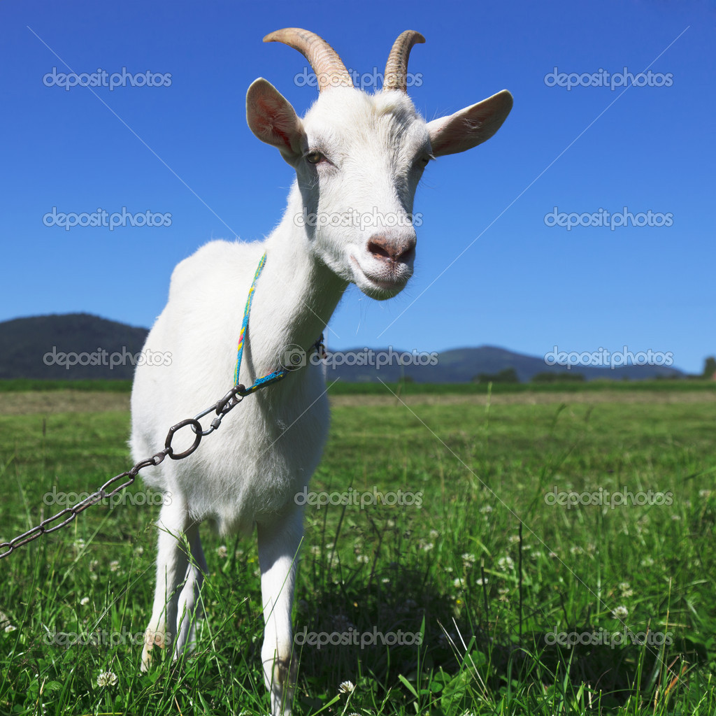 Goat looking at camera — Stock Photo #11468704