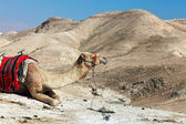 Dromedary camel at an Judean desert — Stock Photo