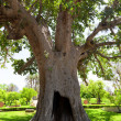 Ancient Sycamore tree in Jericho, Israel — Stock Photo