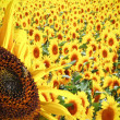 Fantastic sunflowers — Stock Photo