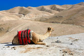 A camel in the desert — Stock Photo