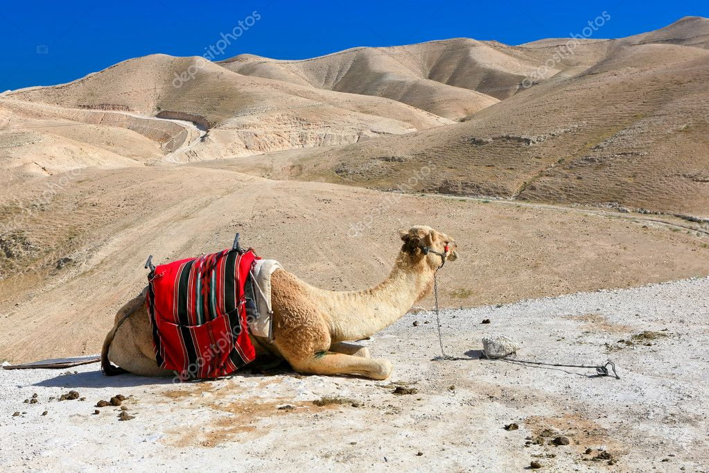 A camel in the desert — Stock Photo #11465168