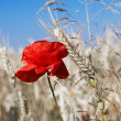 Poppy in the corn — Stock Photo