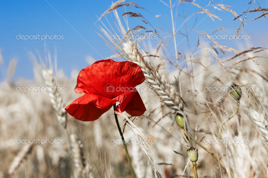 Poppy in the corn — Stock Photo #11991224