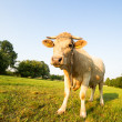Cow animal series — Stock Photo #11542178