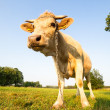 Cow animal series — Stock Photo