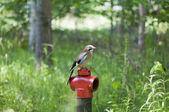 Jay sentado en una boca de incendios — Foto de Stock