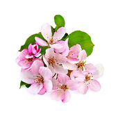 Apple blossom pink — Stock Photo