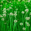 White dandelions on a green grass — Stock Photo
