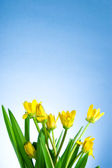Yellow spring flowers with green leaves on a blue background — Stock Photo
