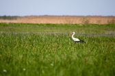 Stork in a high grass — Stock Photo