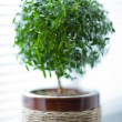 Myrtle tree — Stock Photo