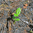 Stock Photo: Young green plant and carbonized leafs in charred forest.