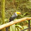 Brazilian Tucan - Stock Photo