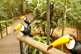 Brazilian Tucan — Stock Photo