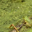 Bullfrog — Stock Photo #10792920