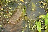 Bullfrog Closeup — Stock Photo