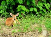 Whitetail Deer Button Buck — Stock Photo