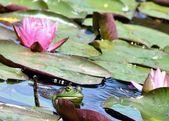 Bullfrog — Stock Photo