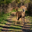Whitetail Deer Buck — Foto Stock #11469431