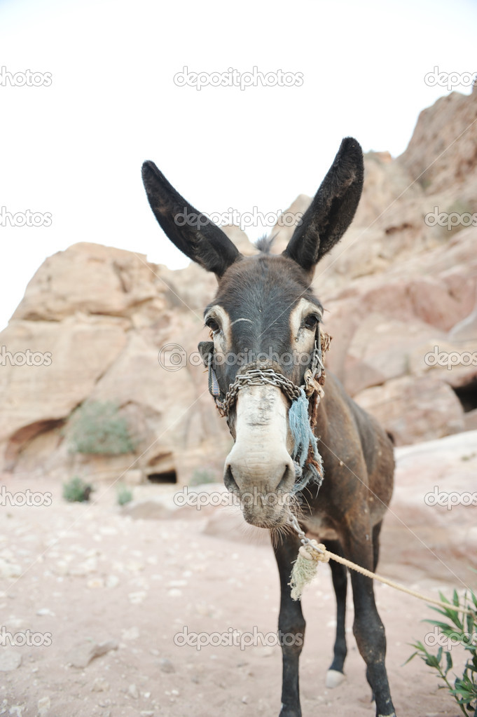 Donkey in Petra, Jordan desert — Stock Photo #12096729