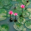 Stock Photo: Pond with water lily