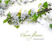 Cherry twigs in bloom — Stock Photo
