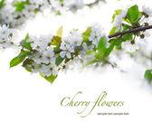 Galhos de cerejeira em flor — Foto Stock