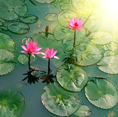 Pond with water lily — Stock Photo