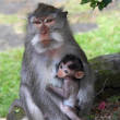 Постер, плакат: Breastfeeding young monkey sucking nipples mom