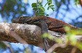 Young Komodo dragon on a tree — Stock Photo