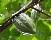 Fresh cocoa bean on a branch — Stock Photo