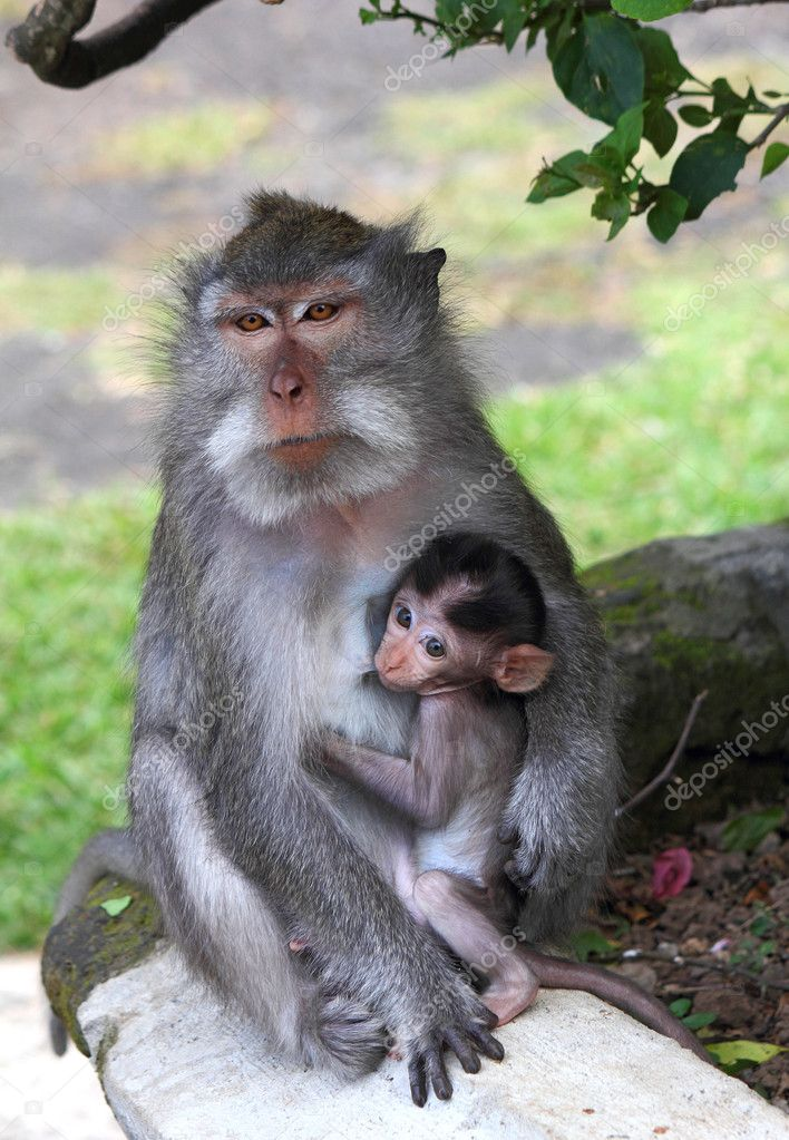 Breastfeeding Young Monkey Sucking Nipples Mom Stock Image