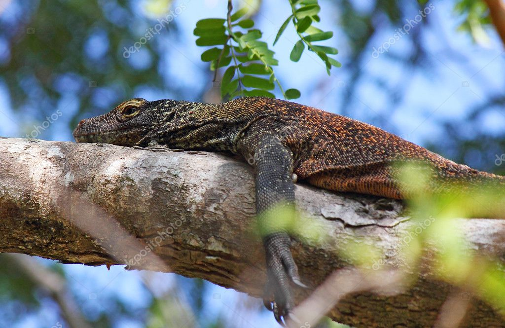 Young Komodo dragon on a tree hiding from adults, Indonesia, island Rinca, june 2012  Stock Photo #11489360