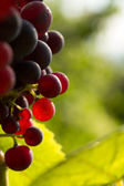 Red grapes in sunset light — Stock Photo