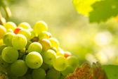 Green grapes in sunset light — Stock Photo