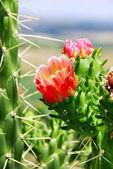 Fiore di cactus selvatico — Foto Stock
