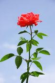 Rouge rose et bleu ciel — Photo