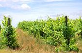 Vineyard at south of Portugal, Alentejo region. — Stock Photo