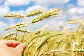 Hand with spike of wheat — Stock Photo