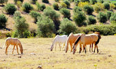 Horses grazing in dry field — Stock Photo