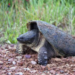Snapping turtle laying eggs — Stock Photo