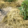 Hay fork mulching tomato plants — Stock Photo