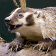 Badger close up — Stock Photo