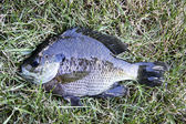 Freshly caught bluegill — Stock Photo