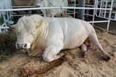 Toro su esposizione agro-industriale — Foto Stock