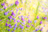 Purple Viper's Bugloss on the blurred background — Stock Photo